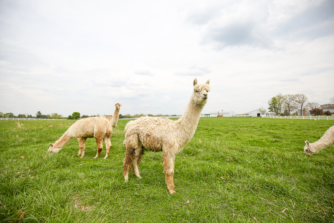 Our Suri alpacas are not just beautiful themselves, they also provide soft lustrous fiber for yarn