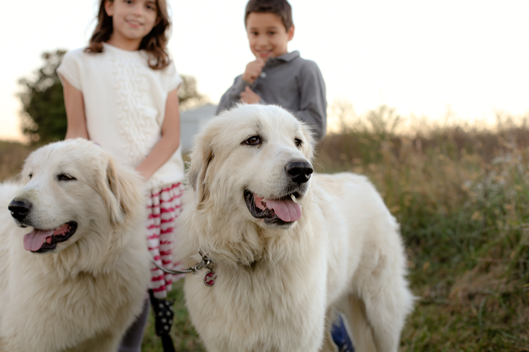 Our guardian Great Pyrenees have quickly become the heart of our farm and beloved companions