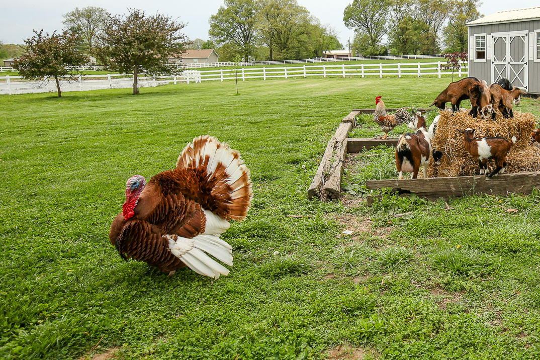 A farm-raised turkey is the best centerpiece of any holiday meal