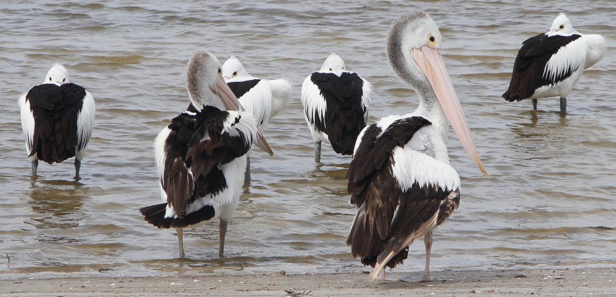 Pelicans all eyes to the camera