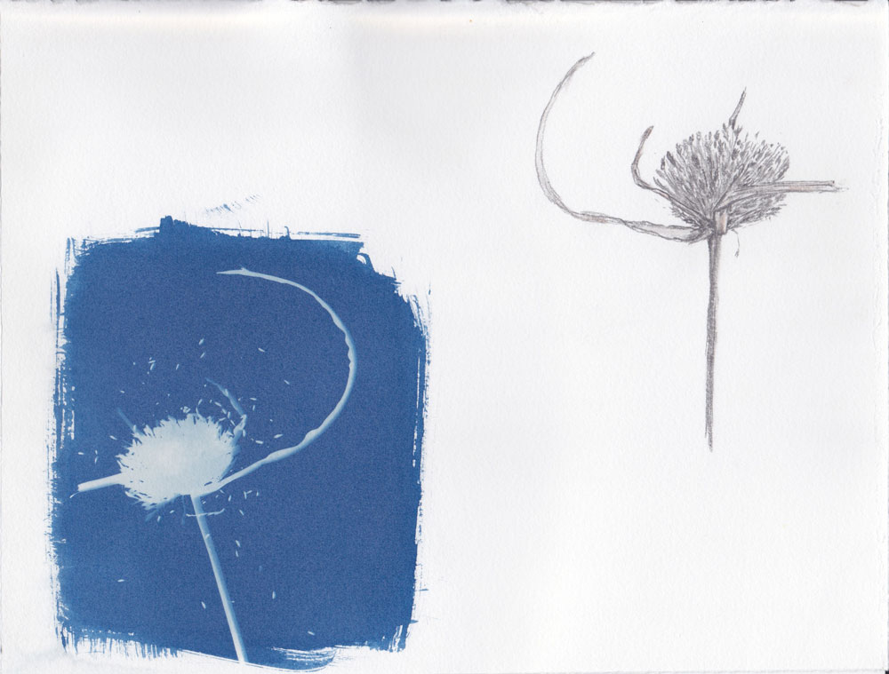 River Reed Flower (2011) Cyanotype and pencil