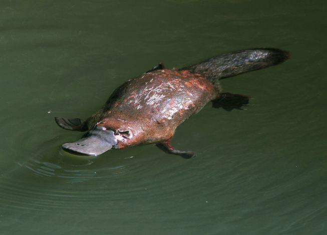 Platypus-Swimming-Water.jpg.653x0_q80_crop-smart.jpg
