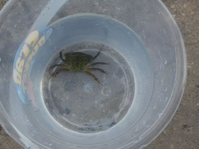 shore crab 2.jpg