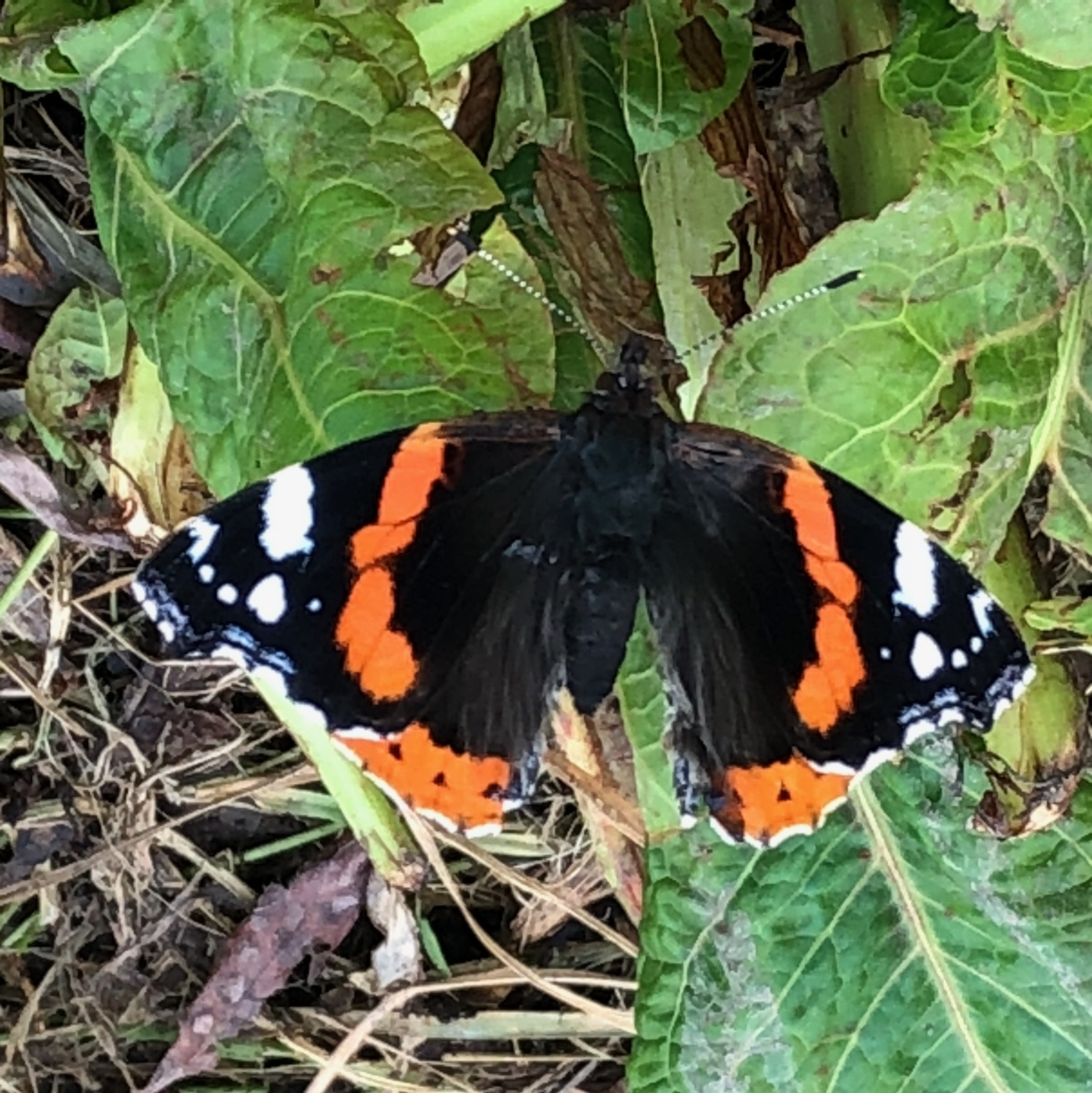 An overwintering red admiral