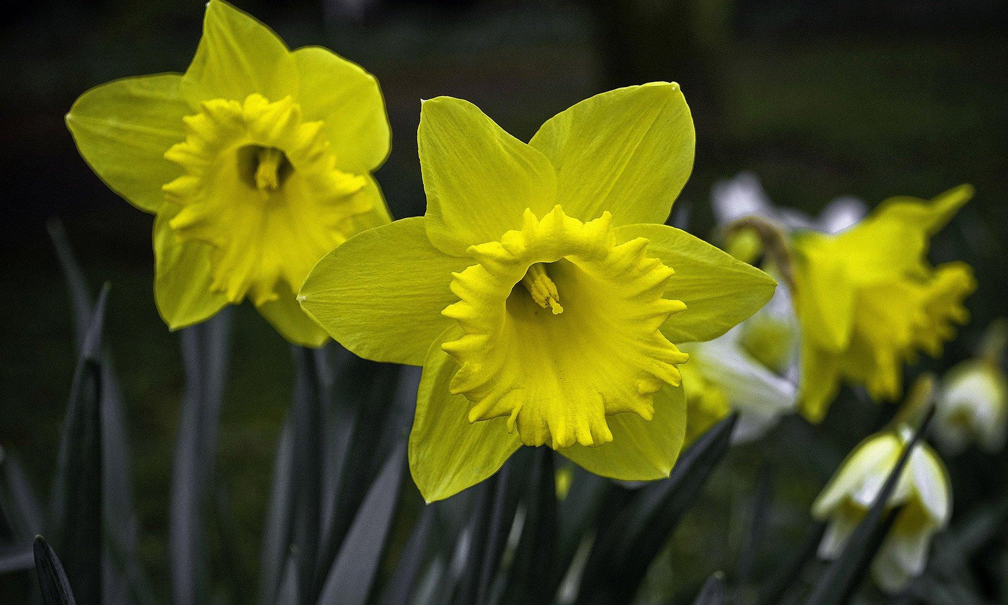 wild_daffodil_flowers_durham_england.jpg