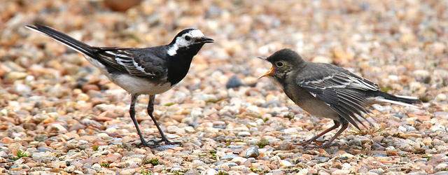 Pied wagtails  by  Nick Goodrum  is licensed under  CC BY 2.0