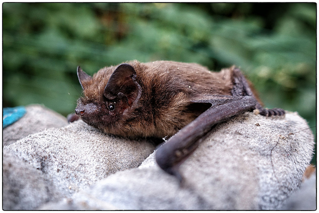 Common Pipistrelle ( Pipistrellus pipistrellus )  by  J P  is licensed under  CC BY 2.0