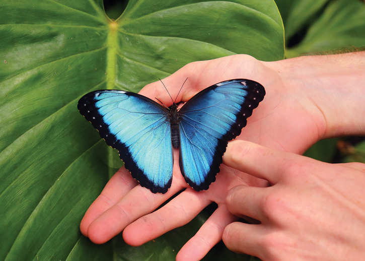 CostaRica_BlueMorphoButterfly_ChristopherPBaker.jpg