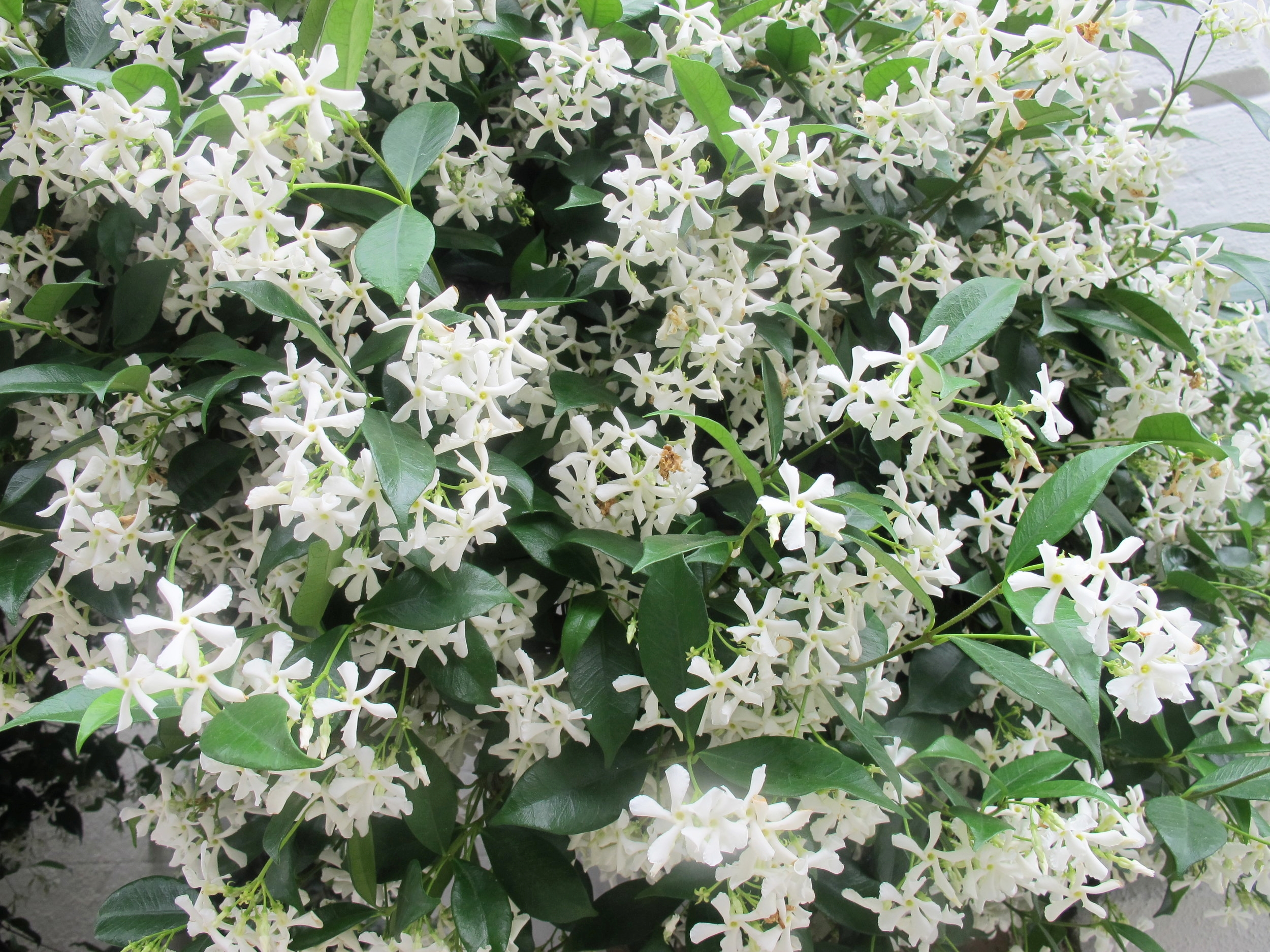 The Confederate Jasmine smelled amazing and lingered throughout the entire city.