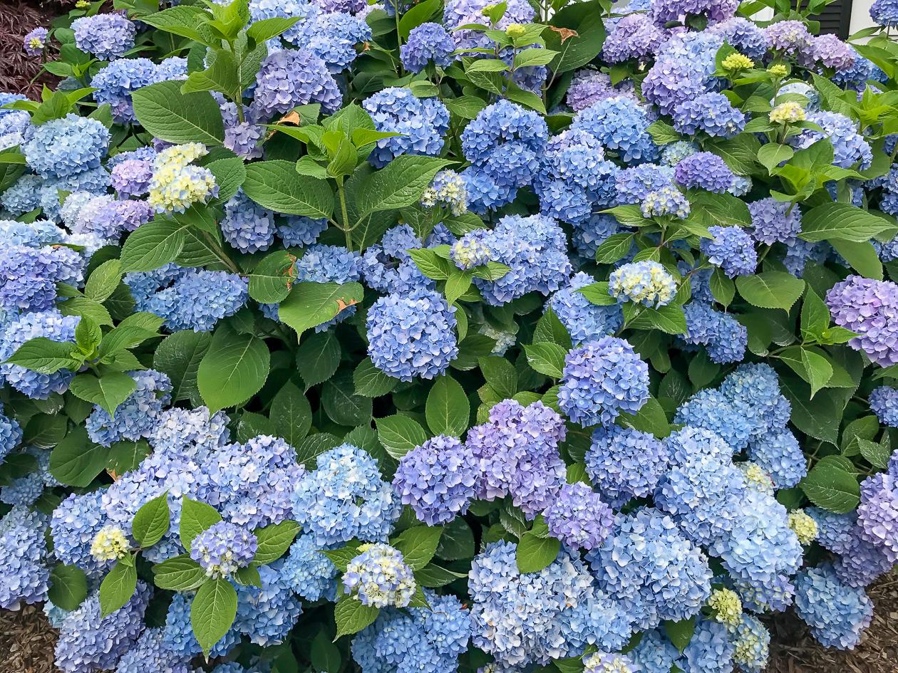 More Hydrangea Bushes