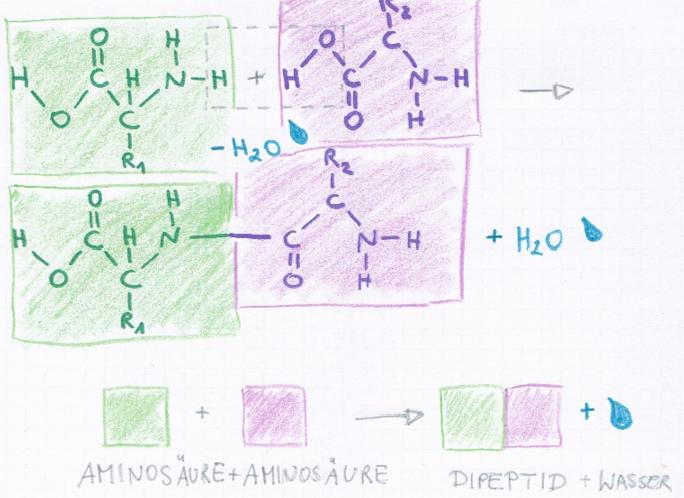 Abb.: Peptidbindung