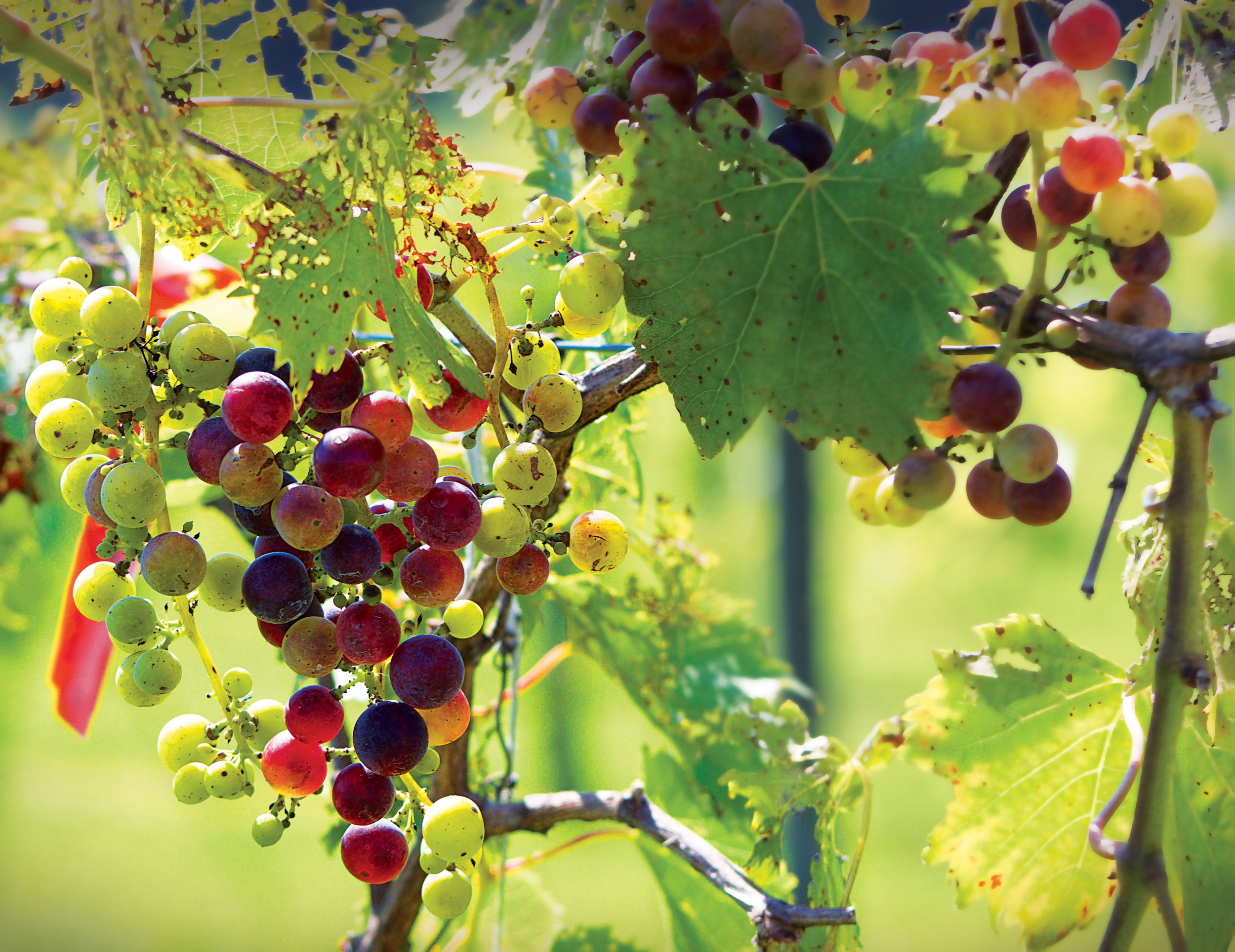 Most of the grapes used to make their wine is grown right on their family farm.