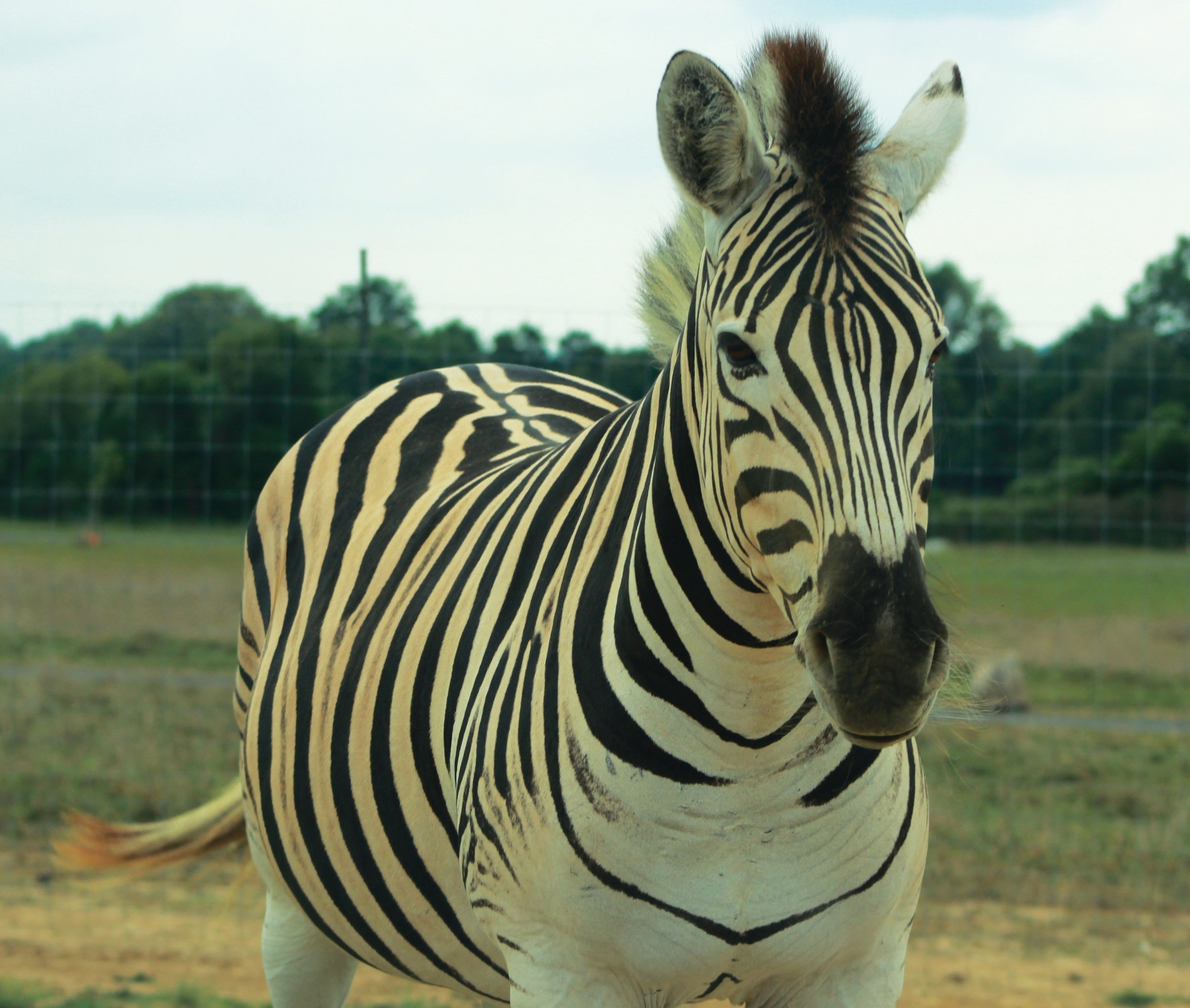 If you've ever seen the movie  Racing Stripes  then you may recognize the park's very own striped movie star.