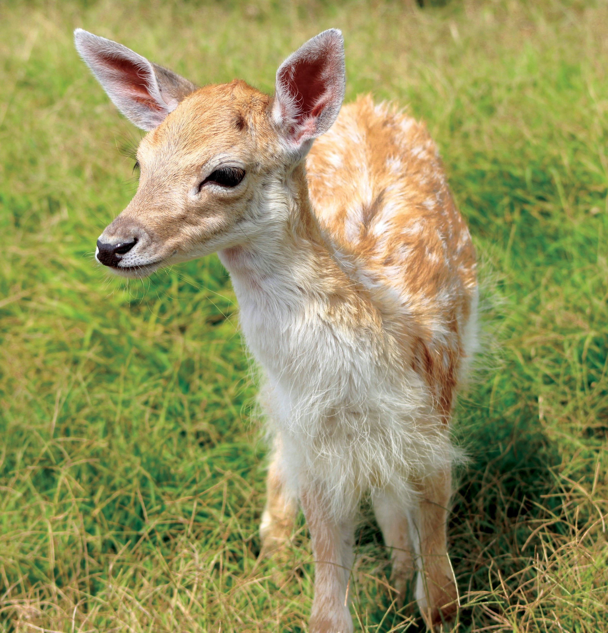 Baby animals like this fuzzy little fawn are born all the time in the park.