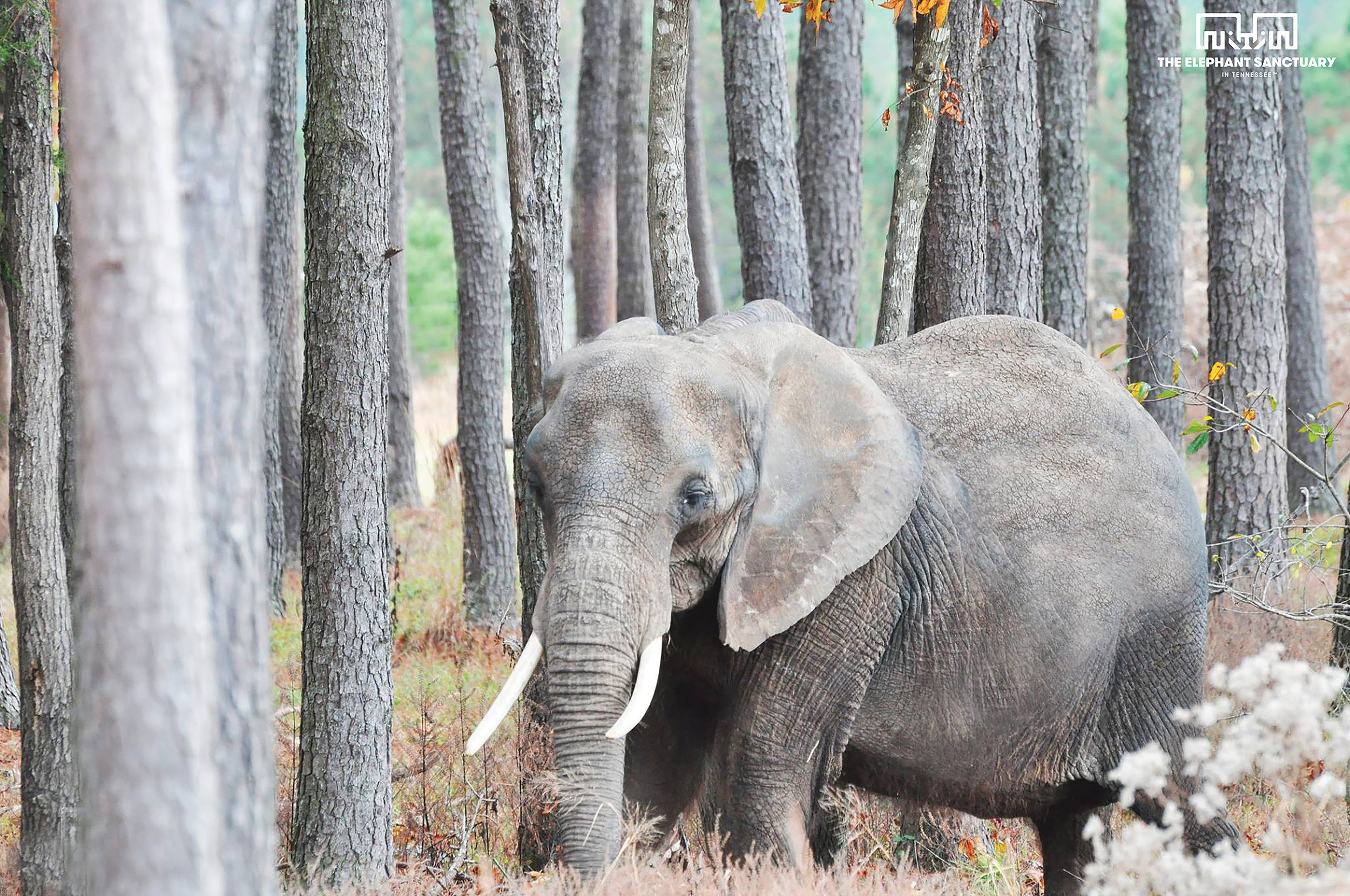 Nosey (African Elephant)