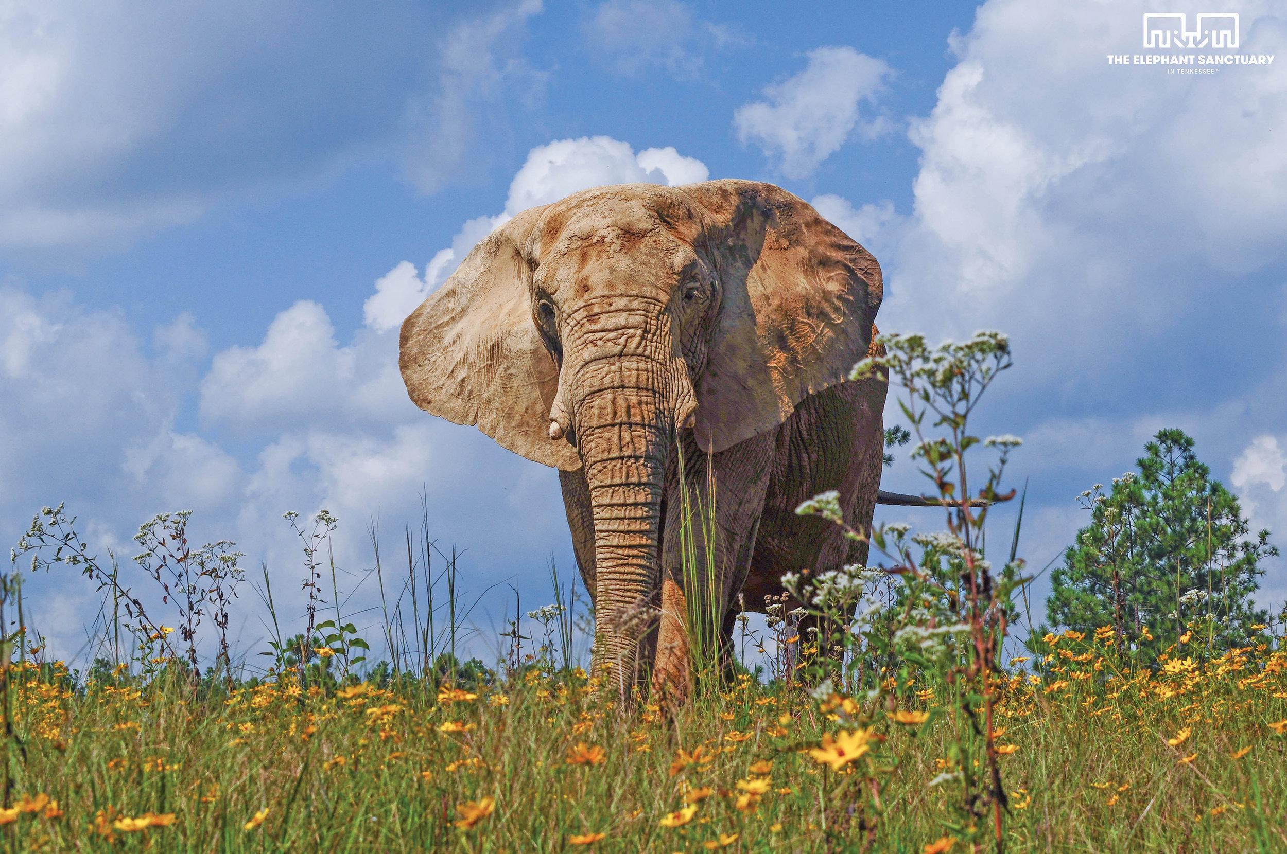 Flora (African Elephant)