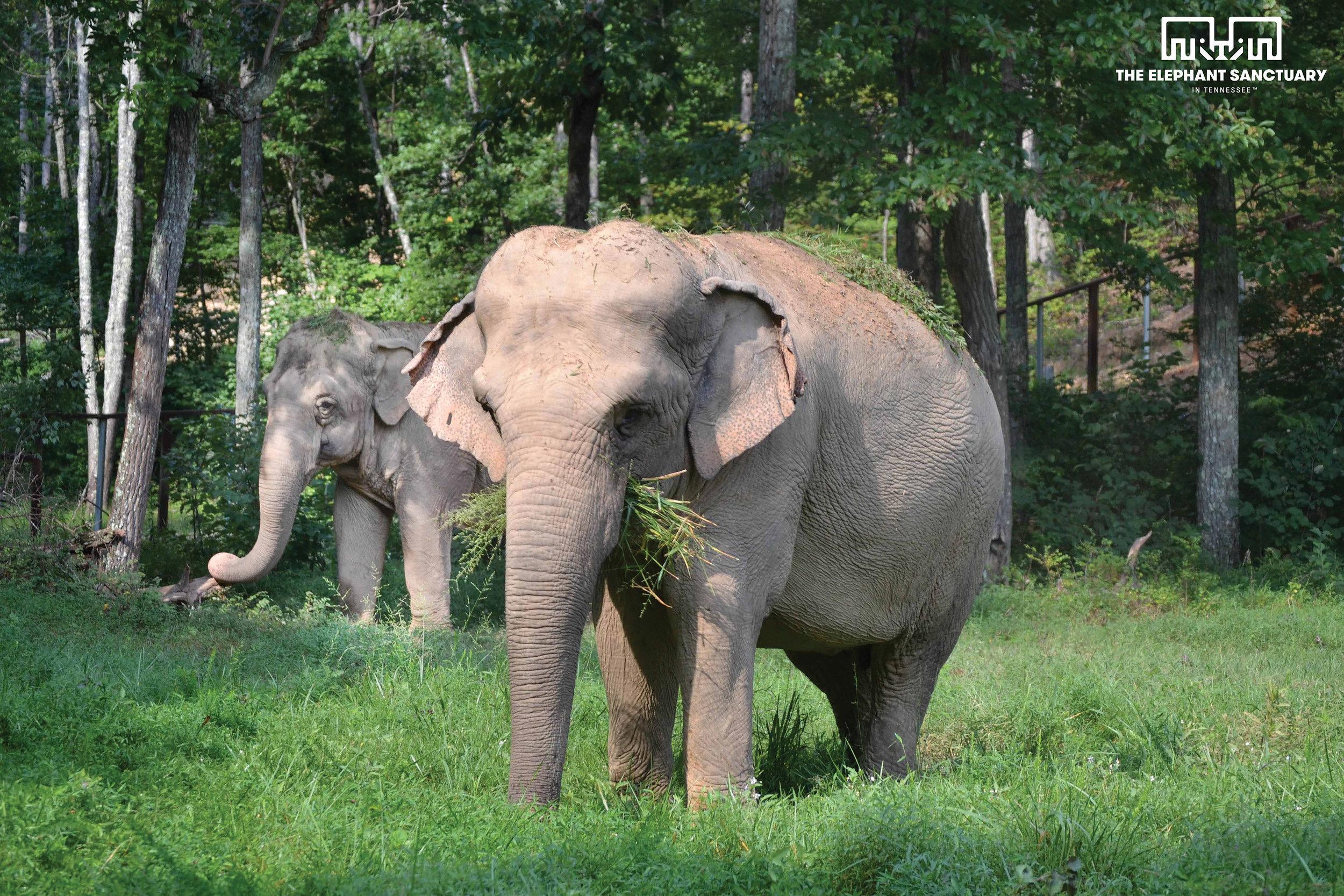 Minnie and Ronnie (Asian Elephants)