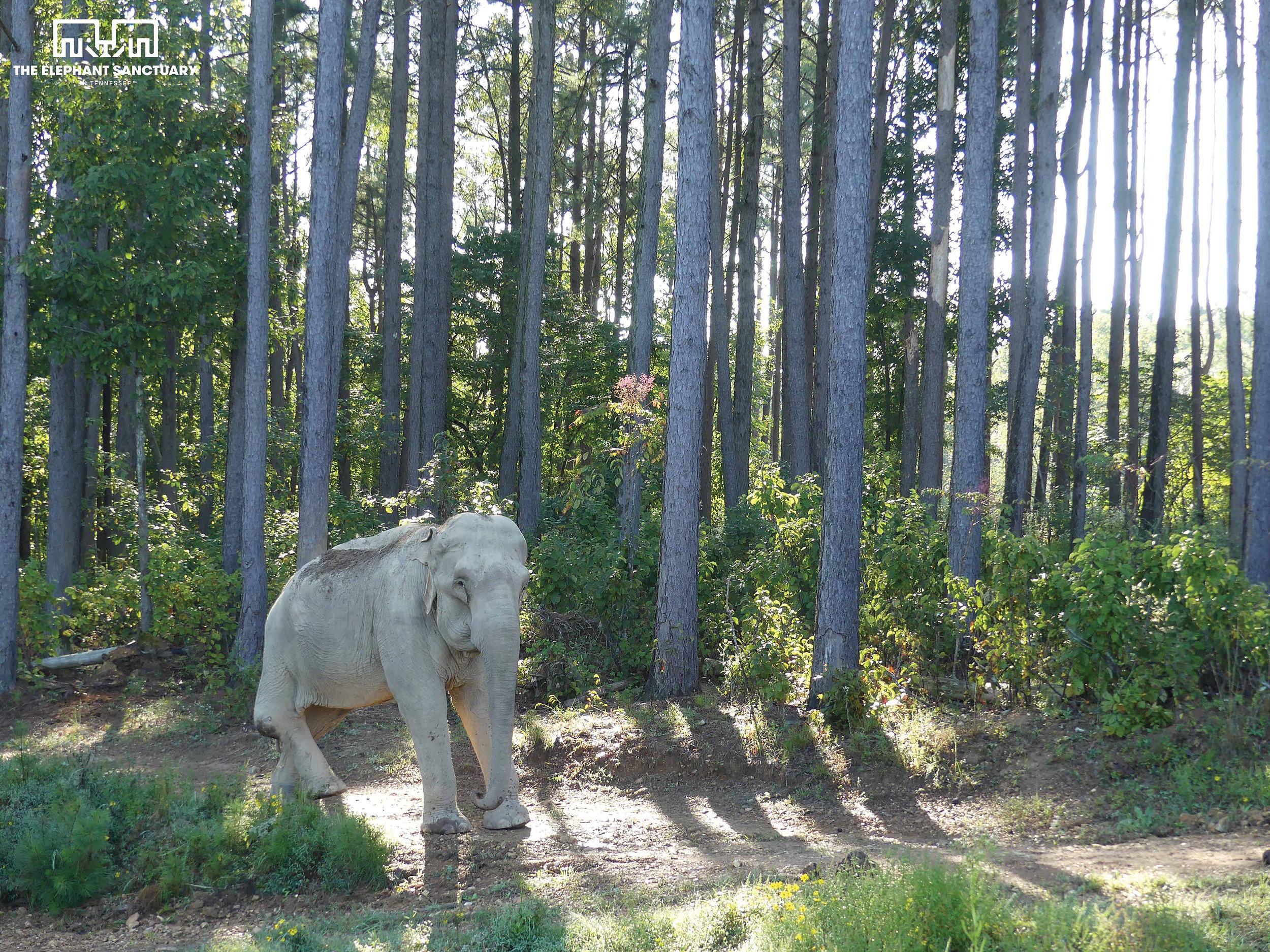Shirley (Asian Elephant)