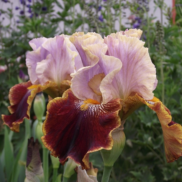 Iris+4.jpg