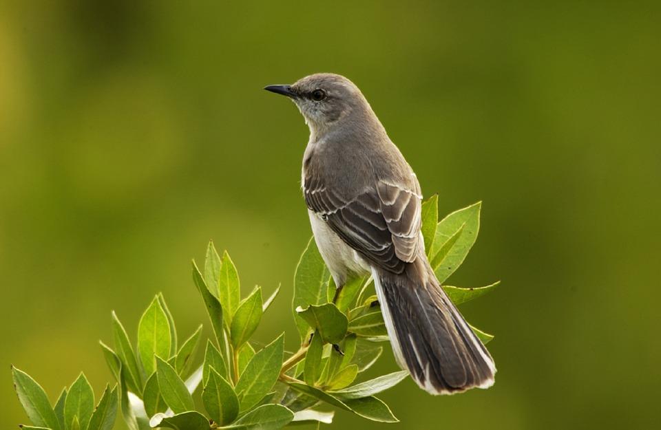 mockingbird-702804_960_720.jpg