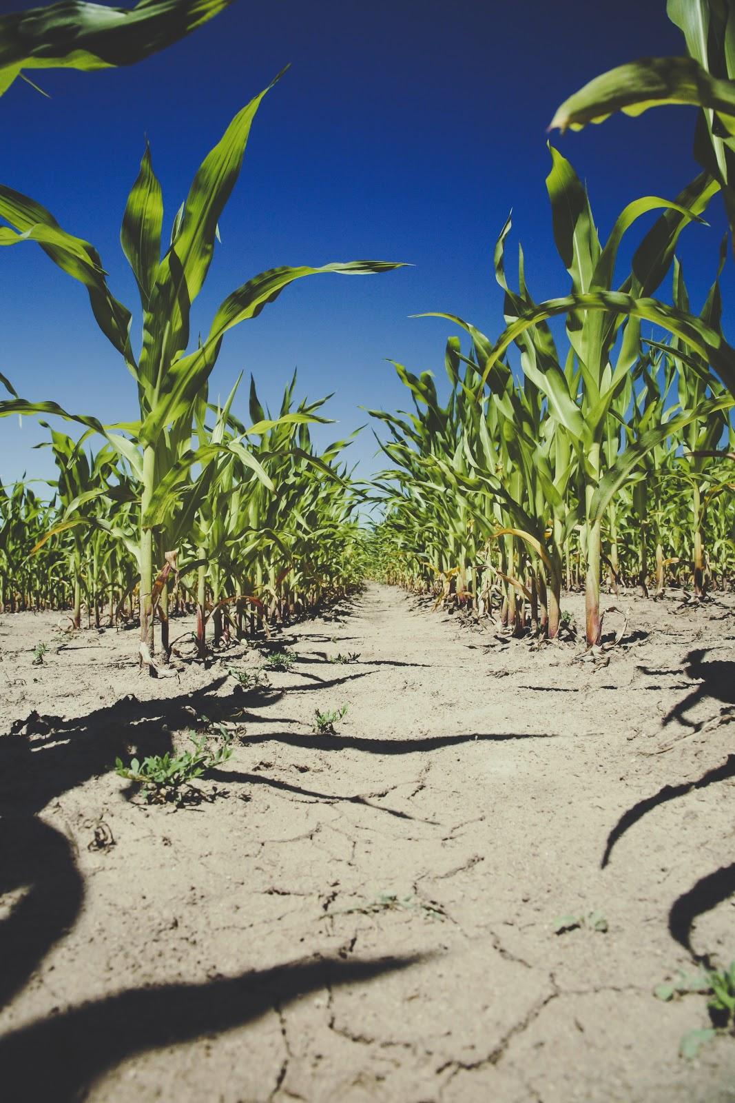 corn-farm-field-101977.jpg