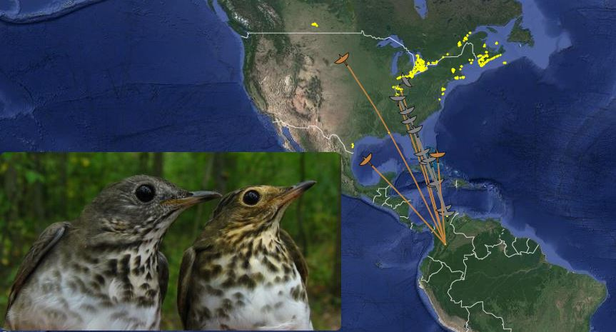 Swainson's and Gray-cheeked Thrushes migrating from Colombia (South America) to their breeding ground in Canada during the  spring of 2015 .Grey indicates Grey-cheecked Thrushes, brown indicates Swainson's Thrushes.