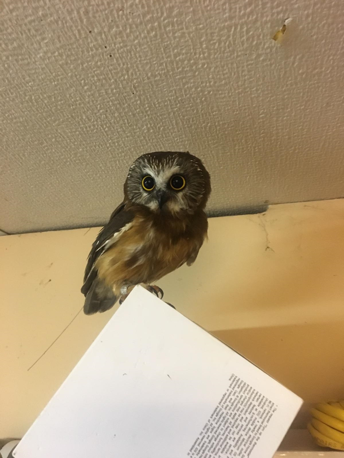 Northern Saw-whet Owl ( Aegolius acadicus ) with nanotag: David Brinker.