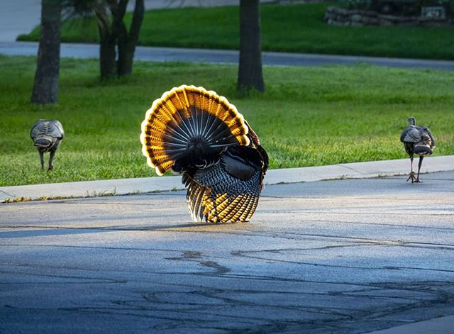 Early morning traffic on our street here in #wichita #kansas. This wild 'Tom' turkey did his best to show off to the uninterested hen turkeys further up the street. Not your average traffic jam on the way to work. #wichitatourism #wildturkeys #wichitalifeict #wichitaphotographer #kansastourism #kansasphotographer #wildlifephotography #ilovewichita #sonyrx10 #sonycamera