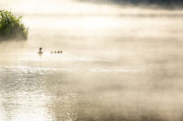 It was a cool, calm start to yesterday morning's photo walk. As the mist slowly rose from the lake's surface, this Mallard hen and her little family moved in to help me compose this photo. I tried to thank them, but they were long gone. #igwichita #kansasmag #wichitatourism #kansastourism #trb_rural #wichitaphotographer #naturephotography #sonycameras #sonyrx10 #kansasphotographer #wichita #kansasoutdoors #kansaslovers #mistymorning #wichitalifeict #wichitakansas