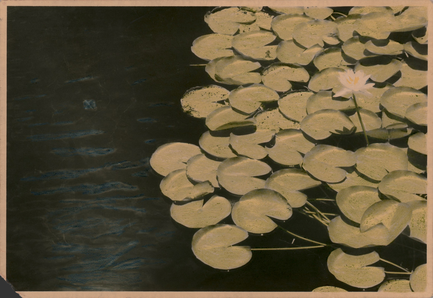 Lily Pads and Flower, Florida