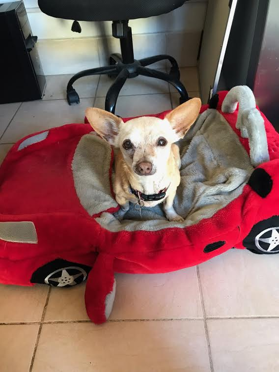Sid riding in style while helping out in the office. Sid is urgently looking for a foster home! Please give the dog office a call for more information, or reach out by email to adopt@sbdawg.org