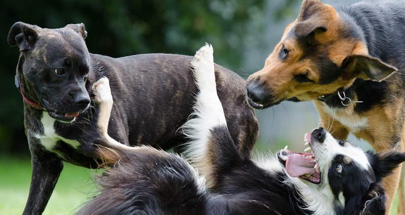 7-dogs-playing.jpg