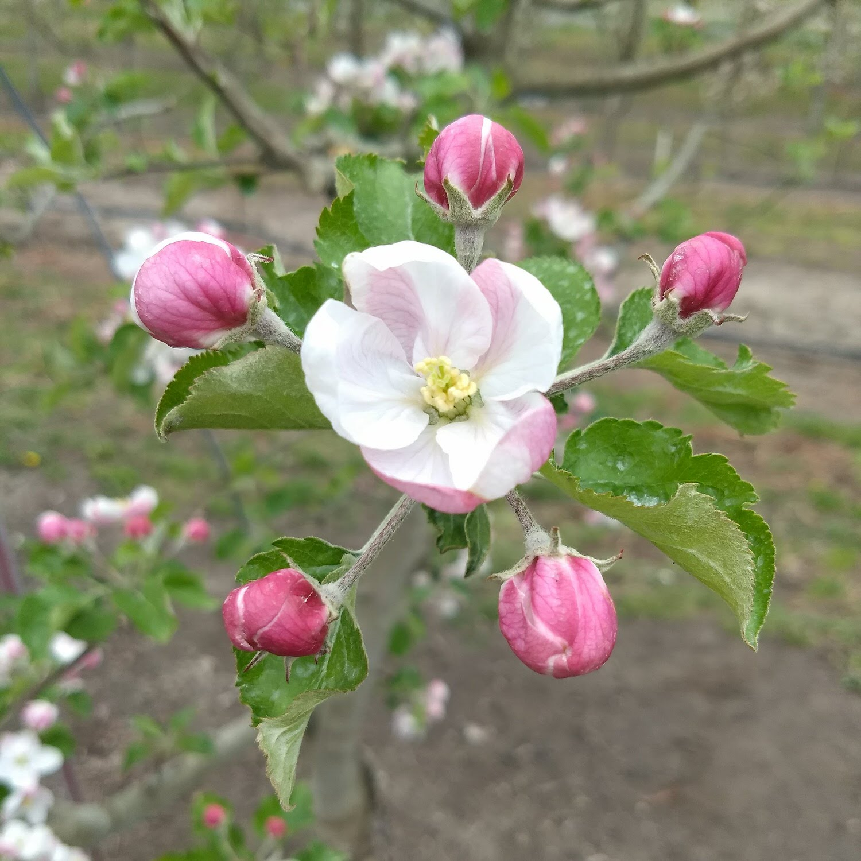 apple king bloom open.jpg