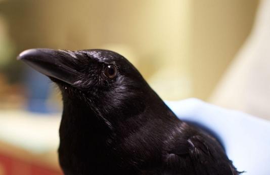 Meet the Bird Braniacs: American CrowAudubon 2016 -