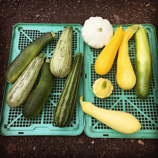 Summer Squash and Zucchinis for sale in Kyoto 🙂 #organicfarming #eatlocalgrown #midorifarm