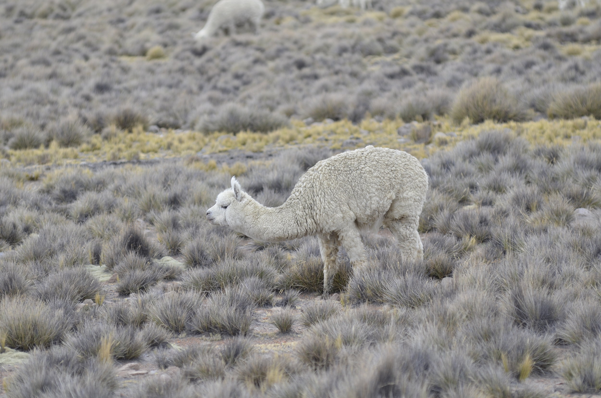 (cute and fuzzy) Alpaca
