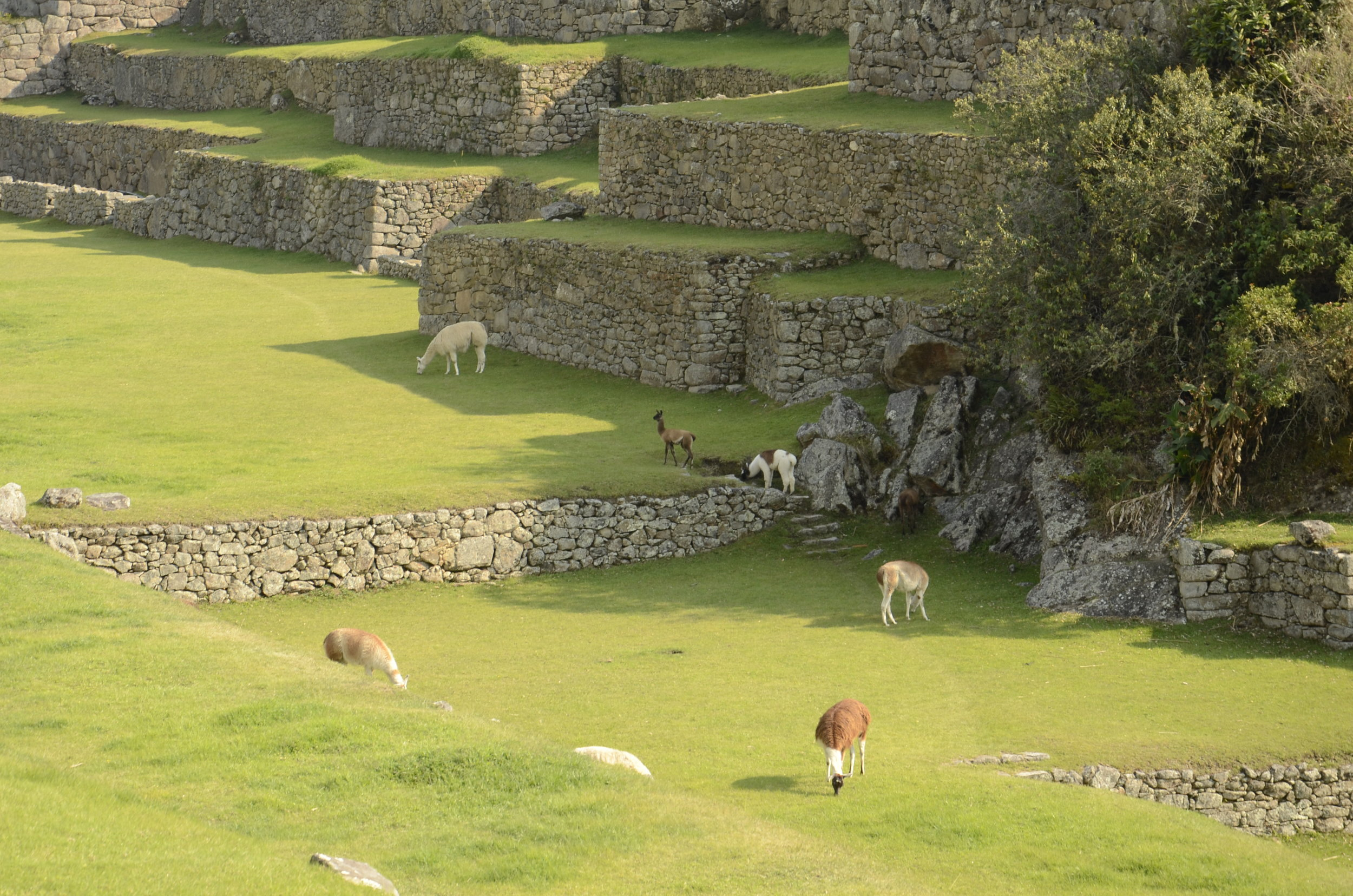 Llamas roam freely on the terraces