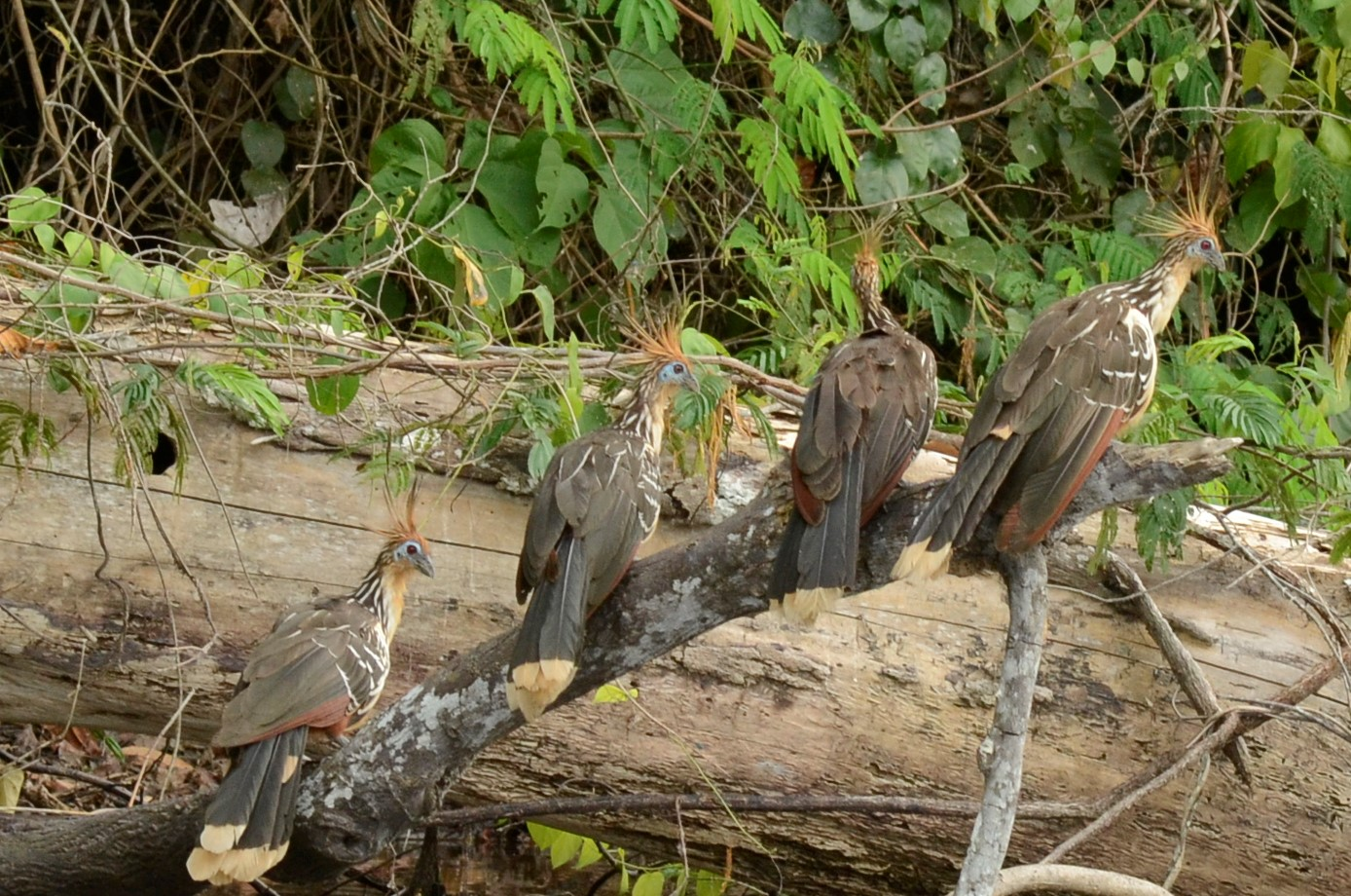 "The 4 ""weird"" sisters (apologies to Shakespeare) - these are hoatzin (a ""prehistoric"" bird once thought to have been extinct)"
