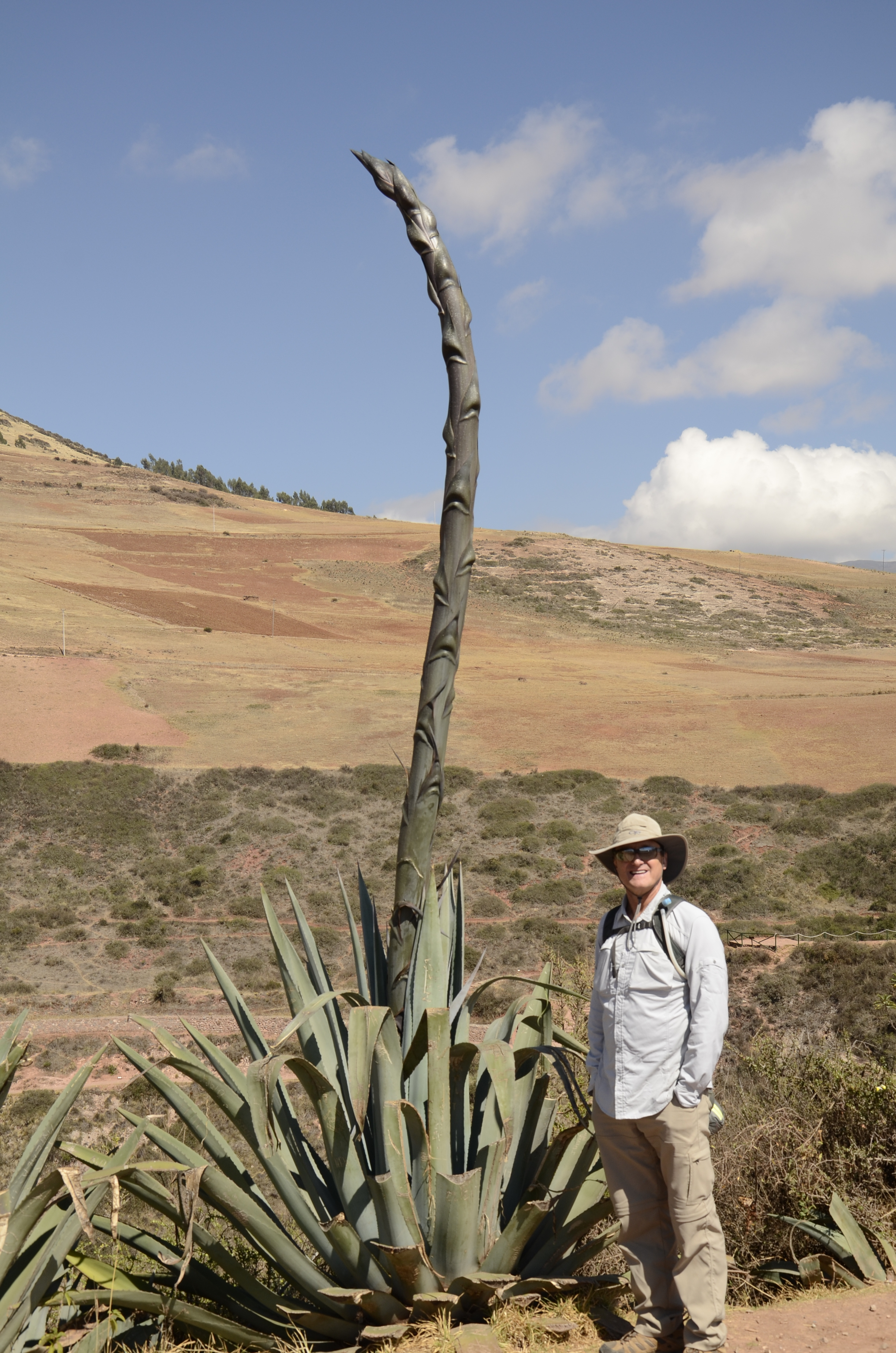 A green agave (used only for horse and cattle feed - in contrast to blue agave in Mexico, for tequila!)