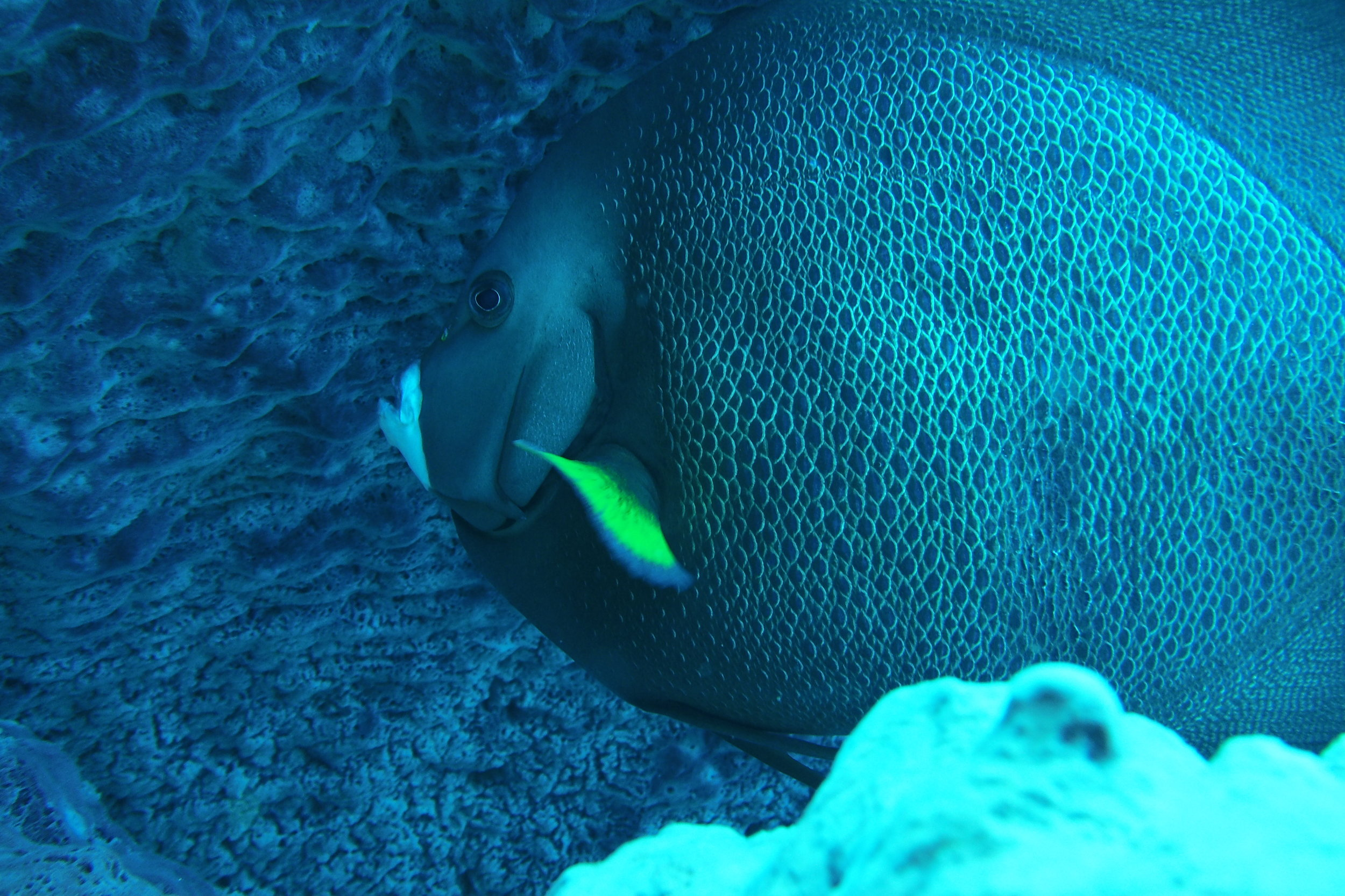 French angelfish is bigger than a dinner platter