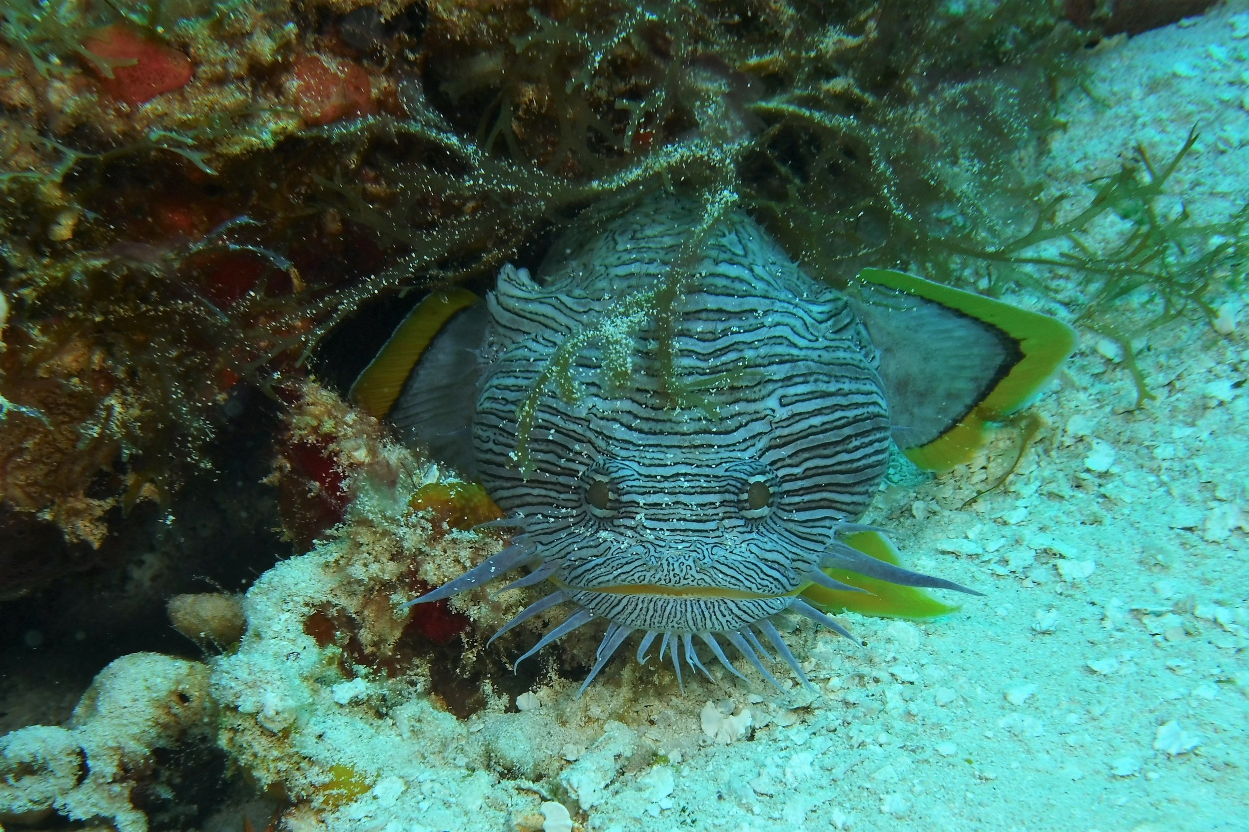 The Splendid Toadfish is found only in Cozumel.
