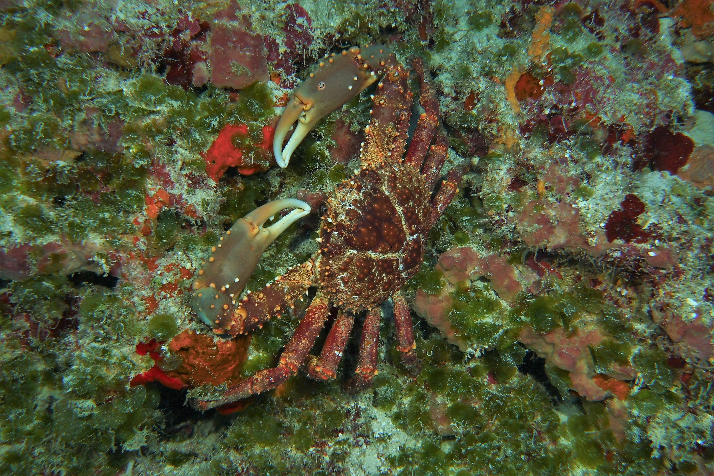 this crab was hiding deep under a ledge of coral