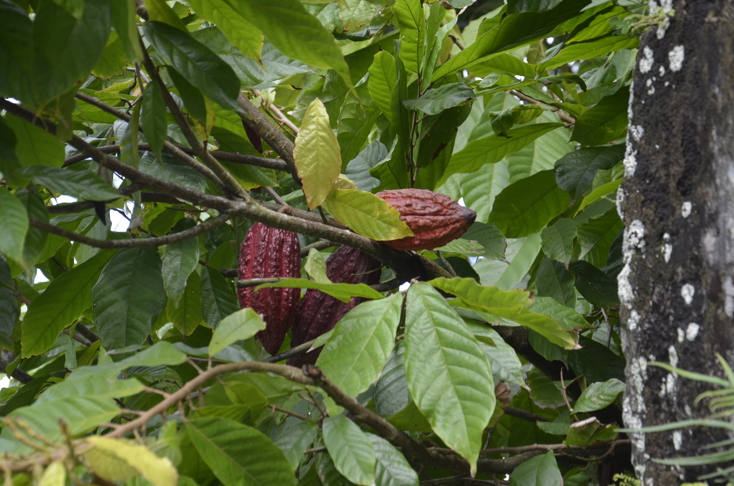 Cocoa pods hold the beans inside.