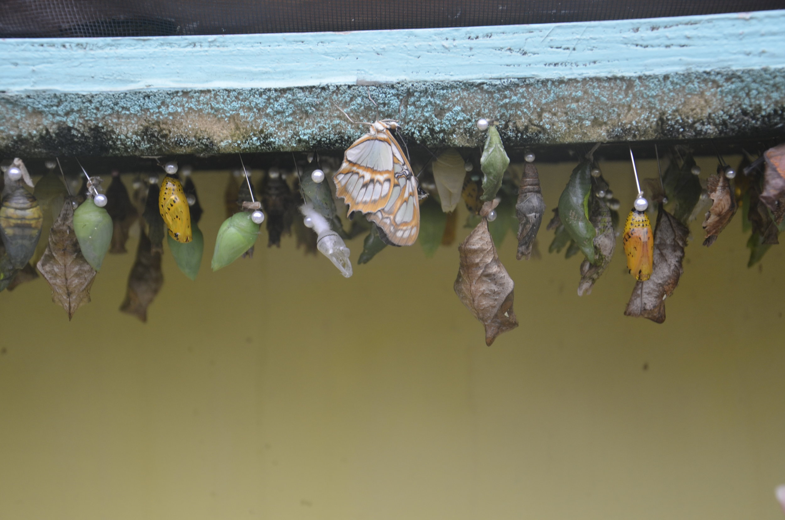 Various chrysalises (?chrysili?)