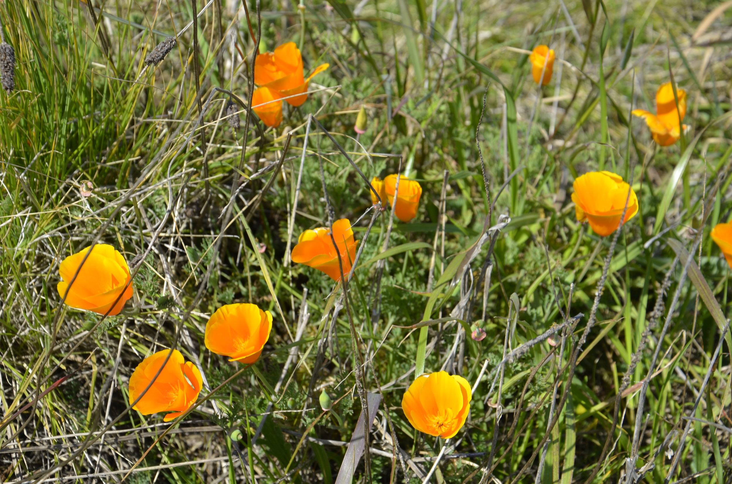 California poppies were blooming everywhere.