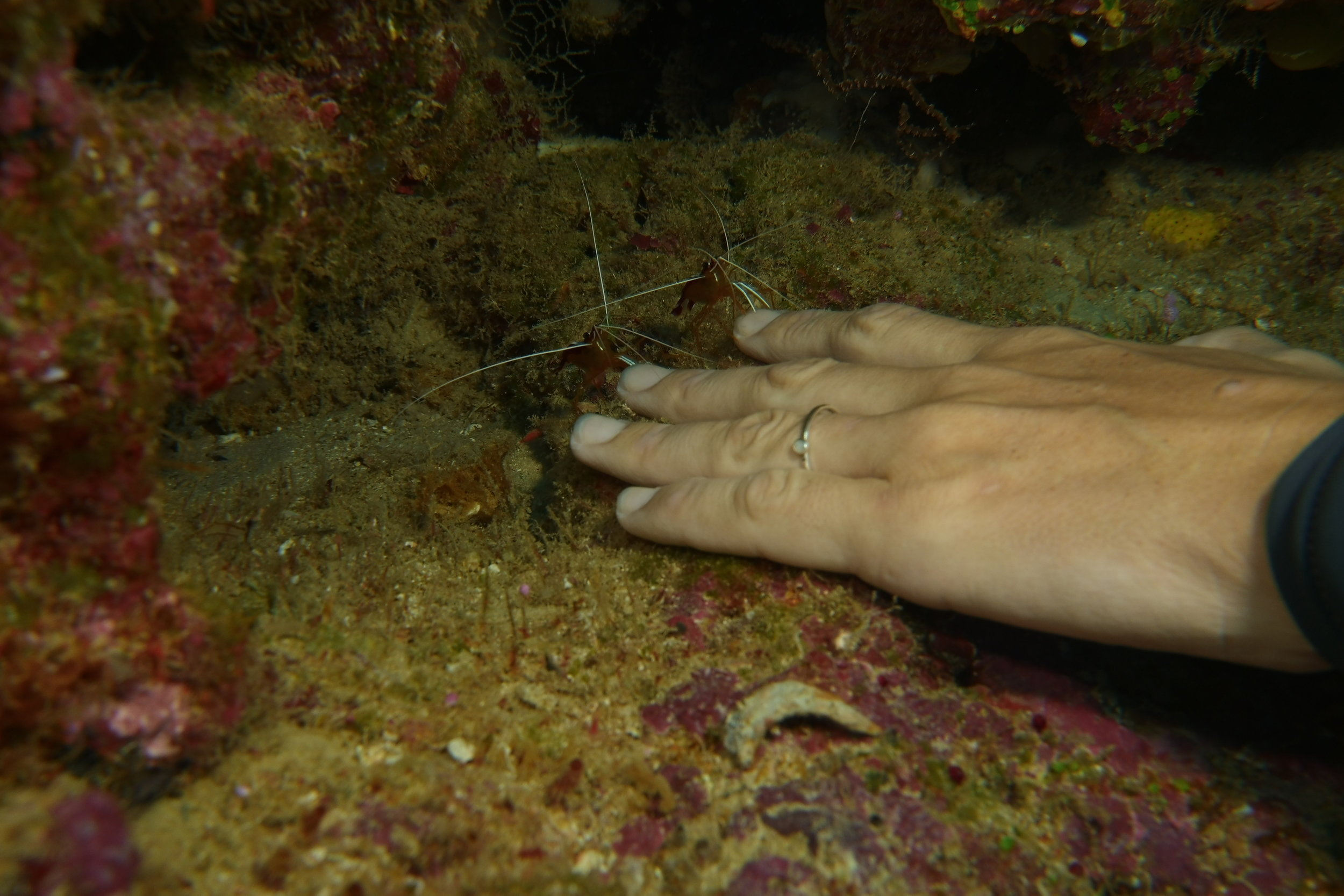 Cleaner shrimp working on one of our dive masters (it tickled when they cleaned mine)