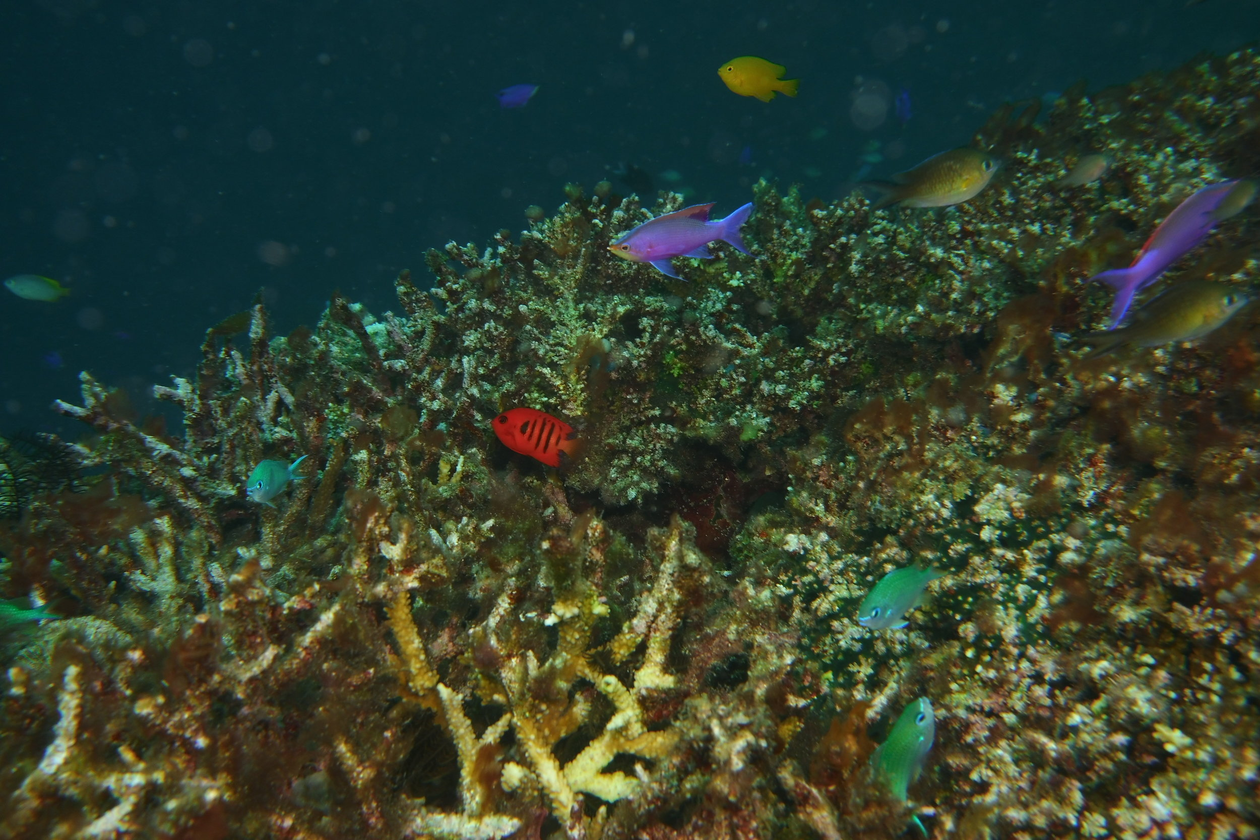 The red fish in the center is a Flame Angelfish; is rare; and was found on only one dive site.