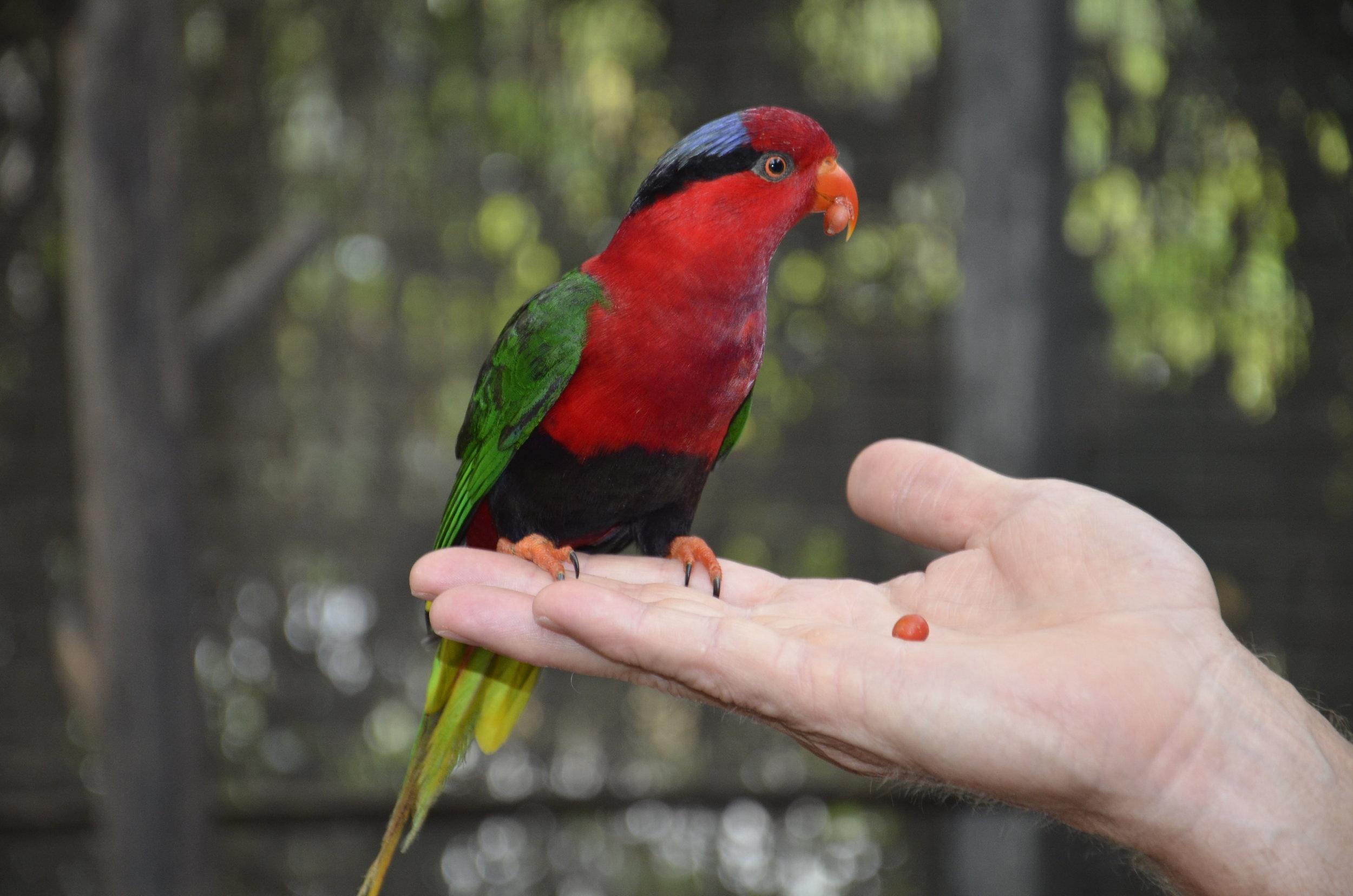 A Papuan Lorakeet on Steve's hand