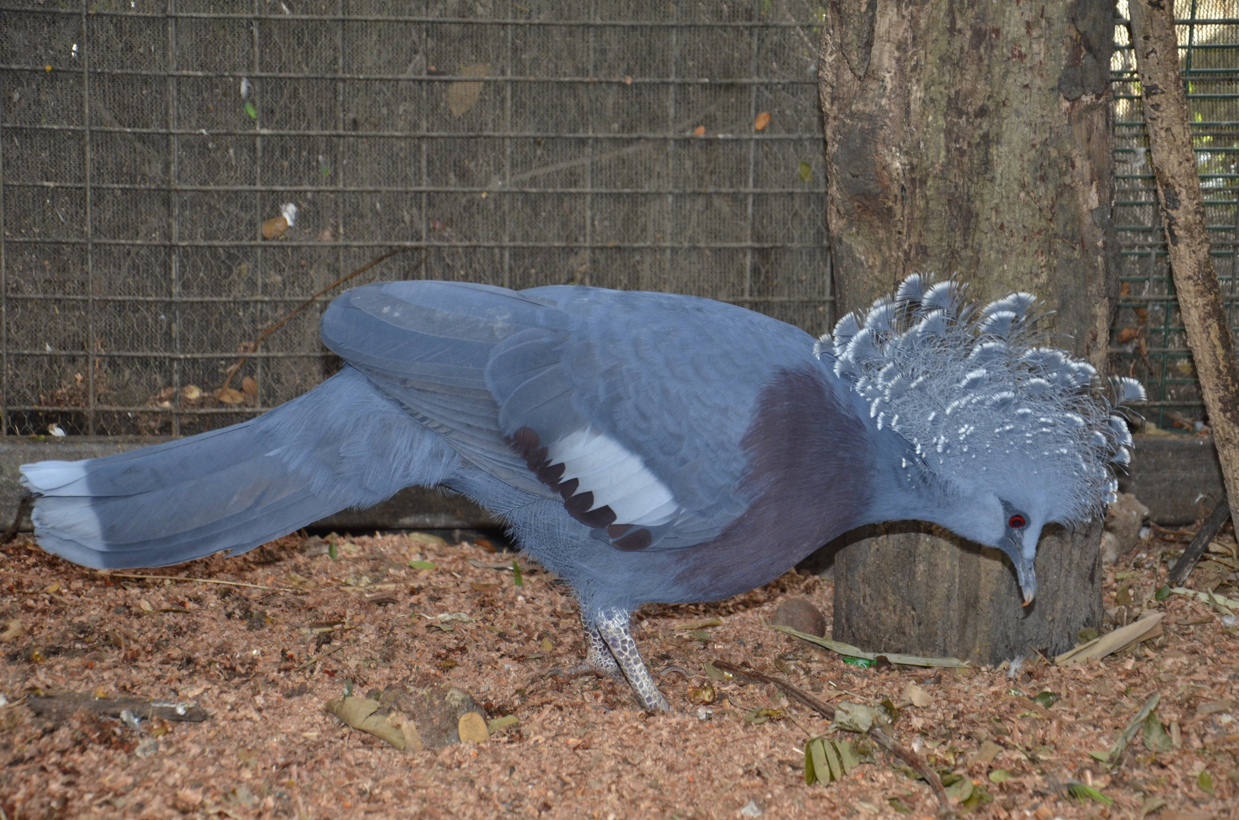 The Victoria Crowned Pigeon is the size of a female wild turkey!