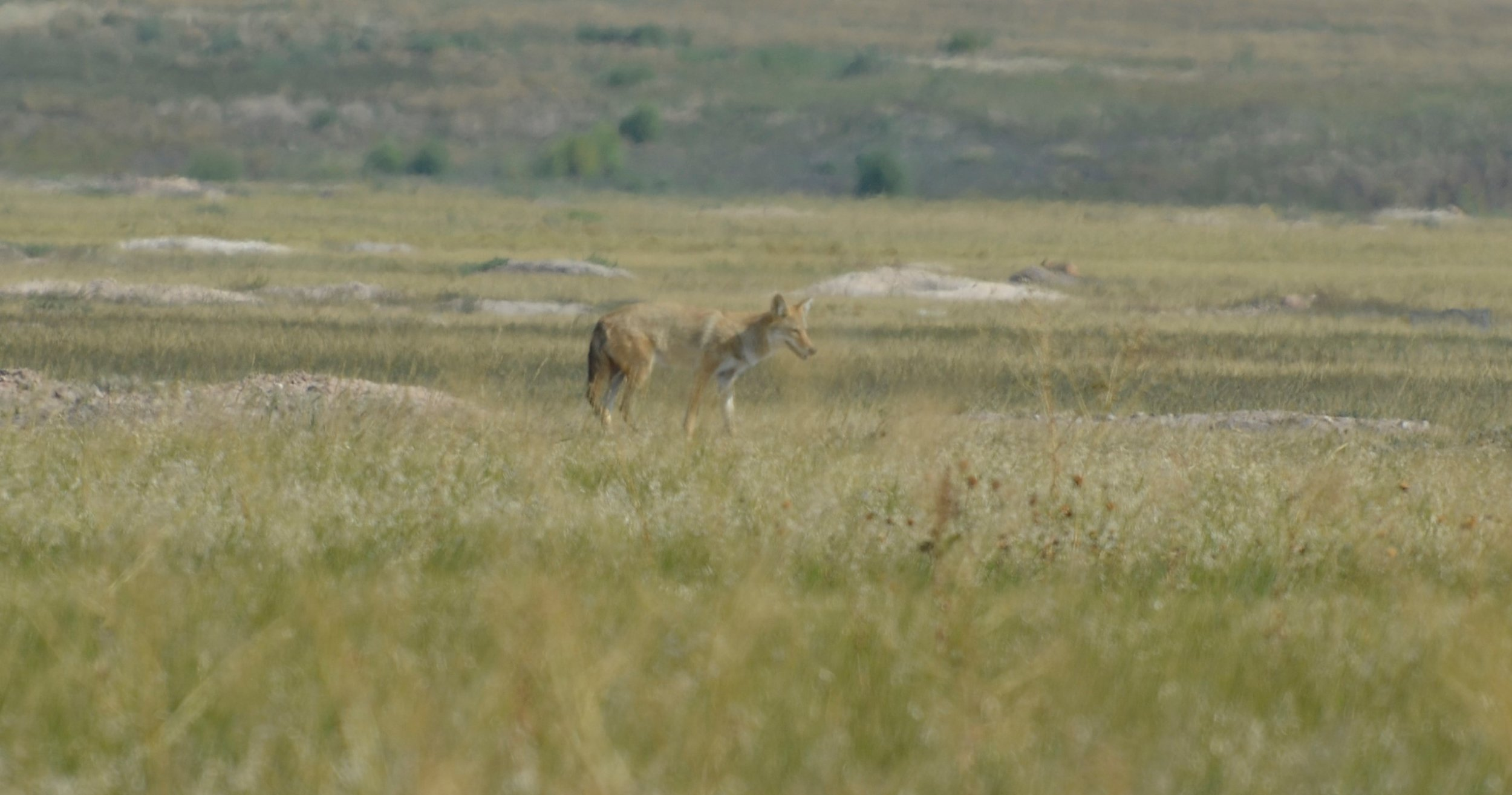 This coyote was hanging out over a prairie dog town, hoping to get lucky